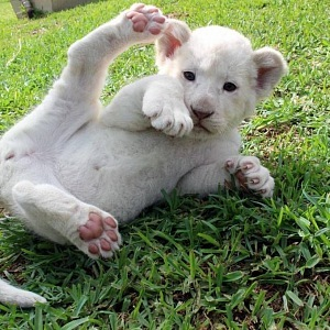 White lion - the little one